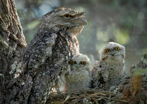 Family of frogmouths